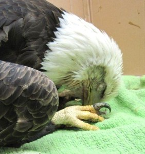 This bald eagle suffered lead poisoning