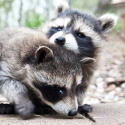 raccoons02