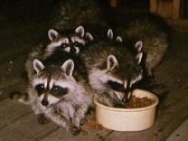 raccoons04