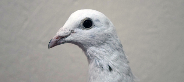 Pigeons are kind, loyal and very smart birds