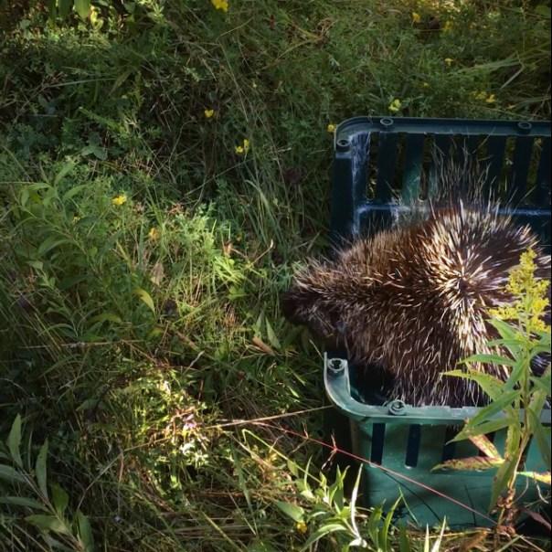 Porcupine release