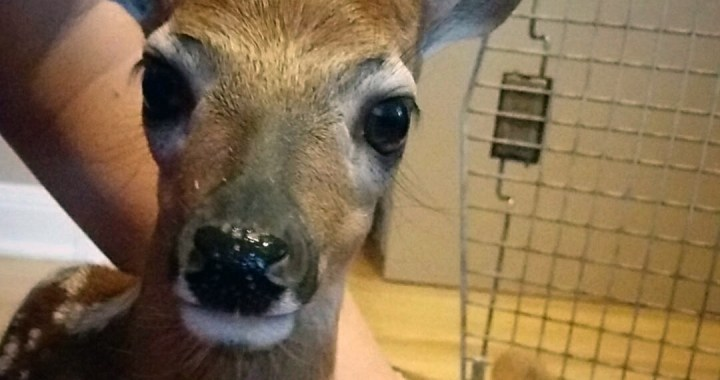 a Fawn in need of rescue