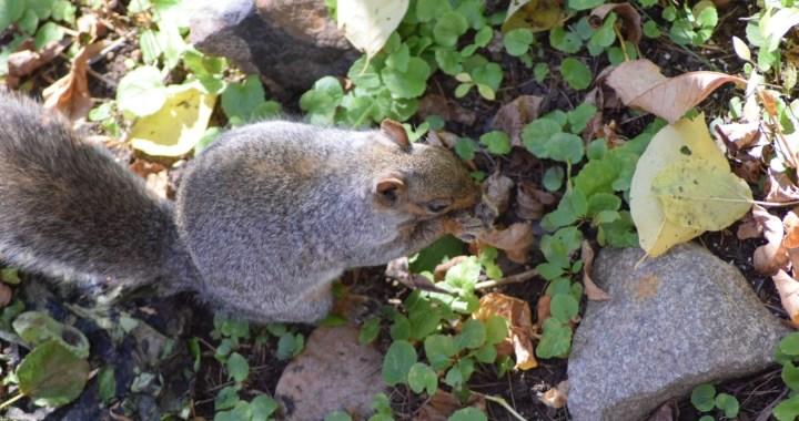 An Eastern Gray Squirrel forages for tree nuts to stash away for the winter