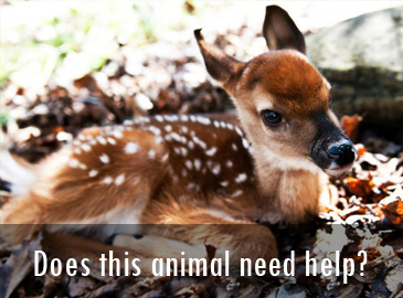 Does this animal need help: Fawn