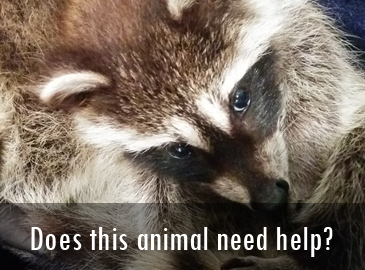 Does this animal need help: Raccoons
