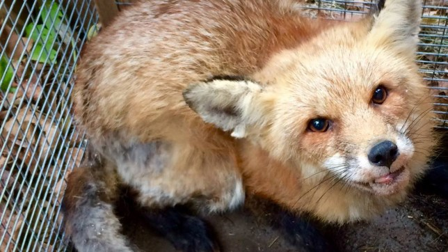 We need a bigger enclosure to help foxes recover from mange
