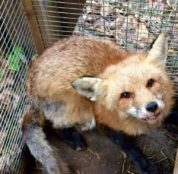 Red Fox recovering from mange