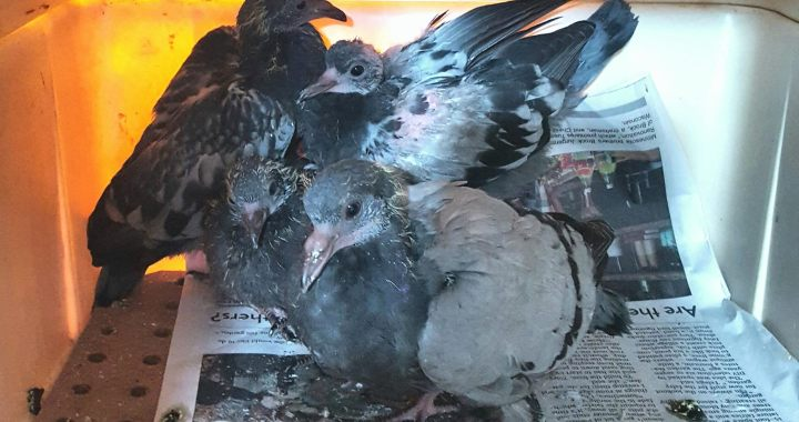 Three of thirty juvenile pigeons who were rescued from starvation