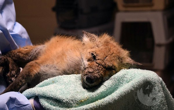 baby fox with severe case of mange