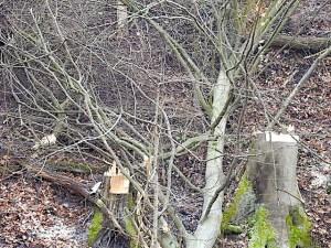 Stümpfe abgesägter Bäume