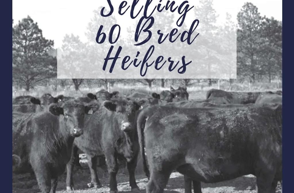 Selling 60 Bred Heifers