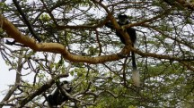 Lake Nakuru - a pair of Colubus monkey's