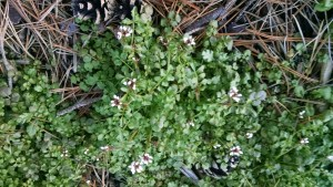 Cress: peppery green for sandwiches and salads