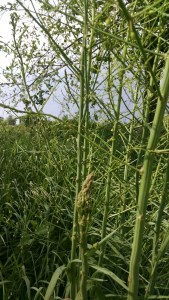 Asparagus: look below the female plants for the last shoots of the year.