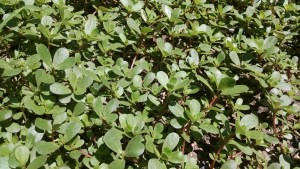 Purslane- an all time favorite garden weed.