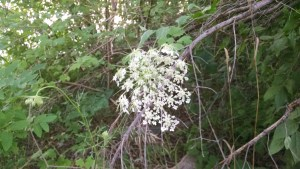 Queen Anne's Lace jelly is a popular treat among foragers.