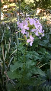 Soapwort, also known as Bouncing Bet.