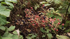 """Blackberries ripen slowly. They may be """"sort of"""" black for 3-5 days before they are ready to fall off in your hand. Pick gently to avoid getting the ones that aren't quite ripe."""