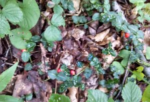 Partridgeberry makes runners that creep along the forest floor. The shiny, opposite leaves have prominent white mid-ribs.