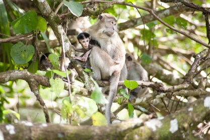 Will Hey Photography - Macaques and Proboscis Monkeys of the Bako National