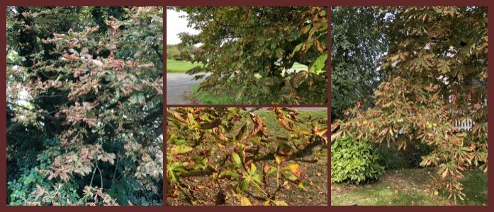 Conkers…