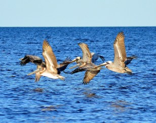 Brown Pelicans, Mashes Sands