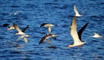 Seabirds, including Black Skimmers and Roseate Terns, on the wing.