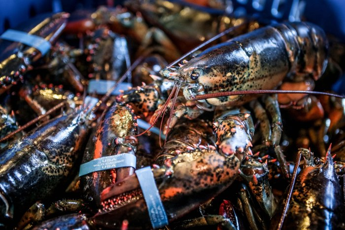 Lobsters continue to grow, but this isn't immortality