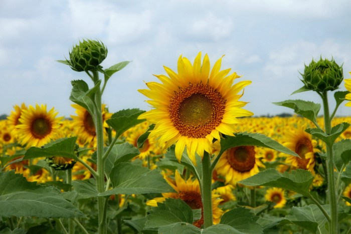 How sunflowers were used to clean up Fukushima