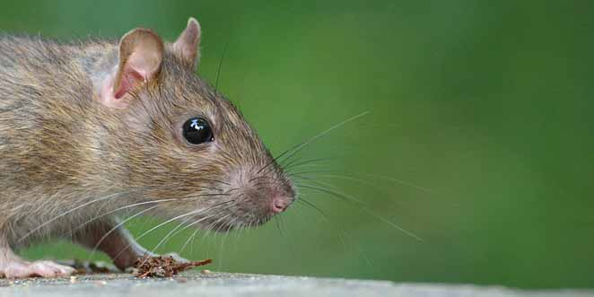 Do rats care for each other?