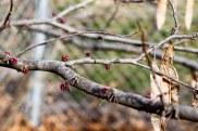 Spring Buds (11 of 14)