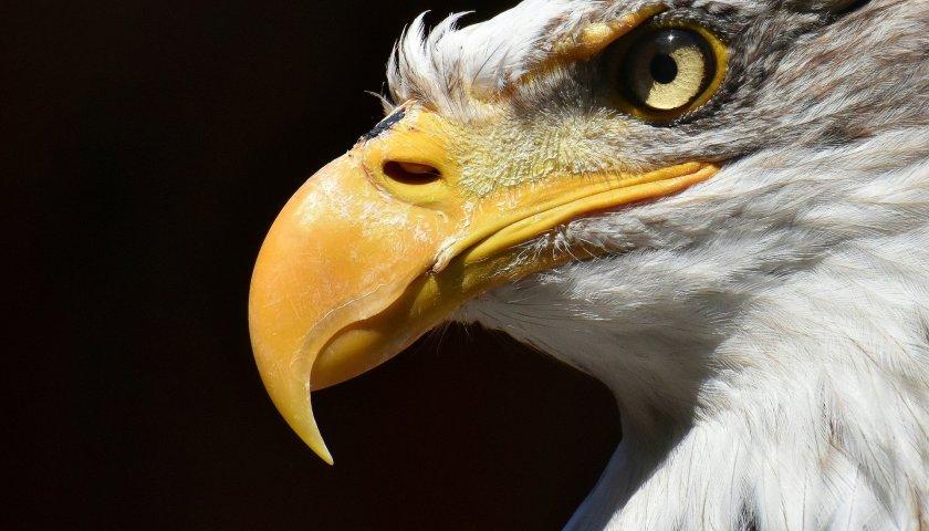 Águia é o melhor simbolo de liderança - Desenvolvimento Pessoal