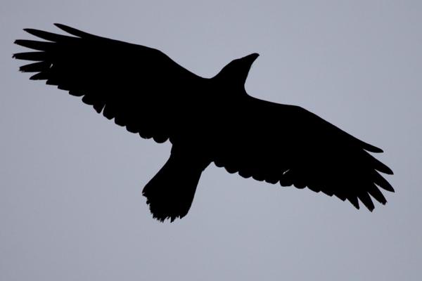 weekend-Common-Raven