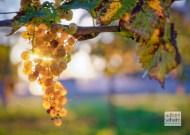 Vidal grapes