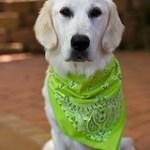 bandana-dog