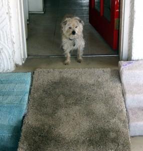 Dog descending a grey carpet