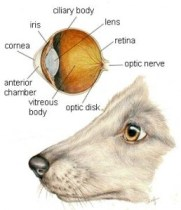 dog_eye_health