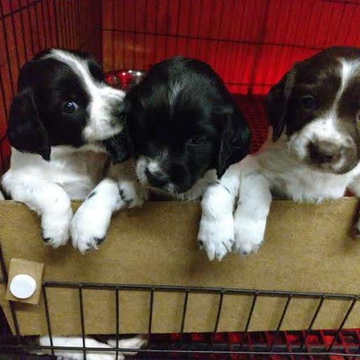 WillowBrook Kennels – English Springer Spaniel Puppies