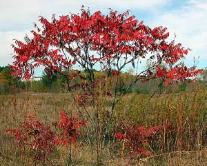 Staghorn Sumac in the fall