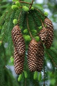 Pine Cone Scrubber