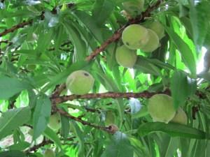 Dwarf Peach Tree