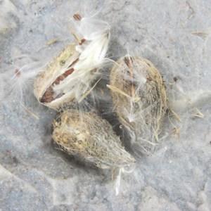 Milk Weed Seed Head 'Down'