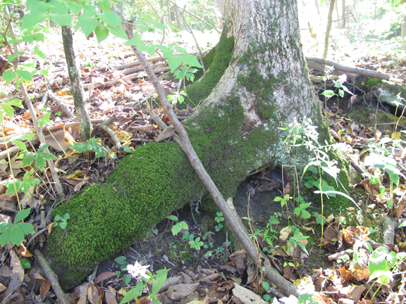 Moss on North side of tree: Photo by Creek Stewart