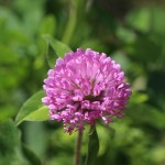 How to Identify Wild Edible Red Clover (Trifolium pratense)