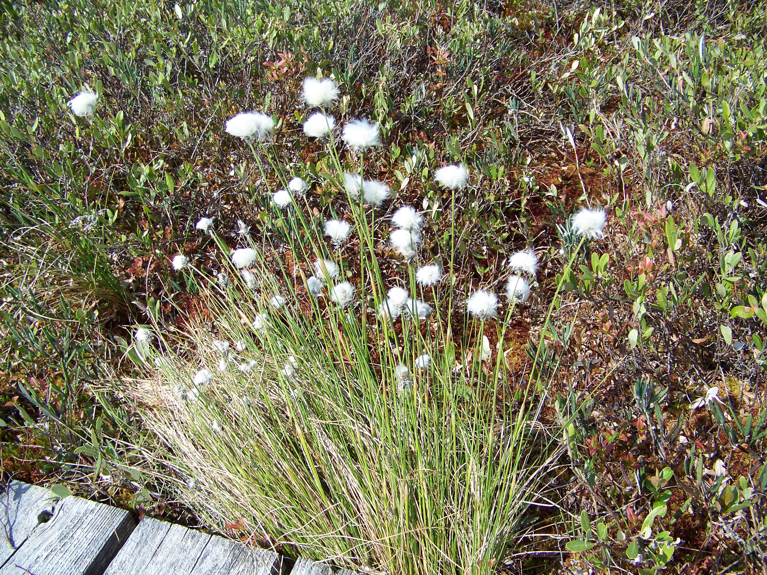 alfredtuftedgrass