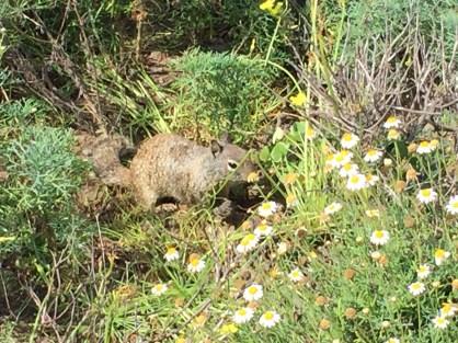 Hörnchen in La Jolla