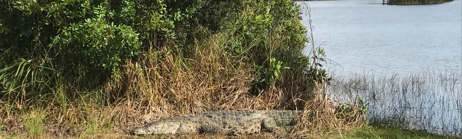 Everglades Alligator Adventures