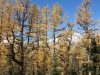 Beautiful larch