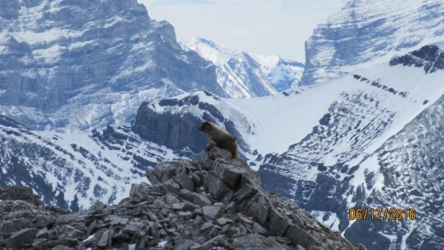 A Marmot shows off his climbing skills