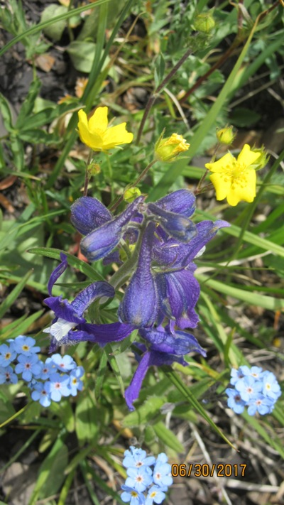 Combination Low larkspur,Forgetmenot,Alpine Buttercup